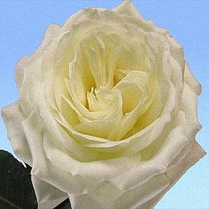 box of garden rose alabaster - White Patience Garden Rose