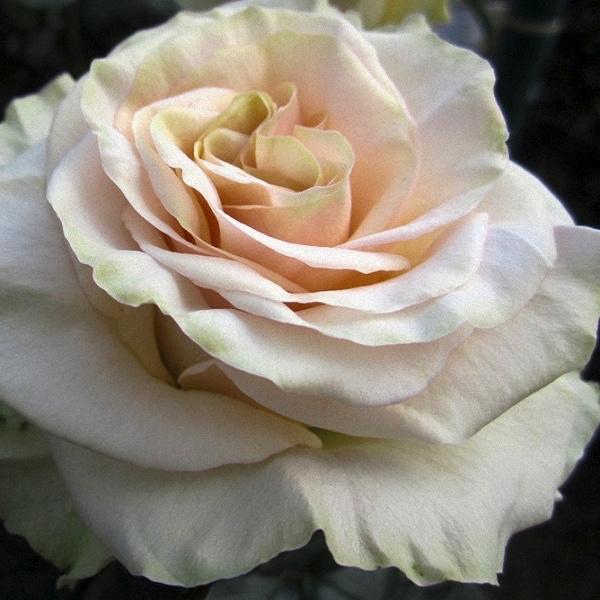 White Garden Rose david austin garden roses, the complete color collection48