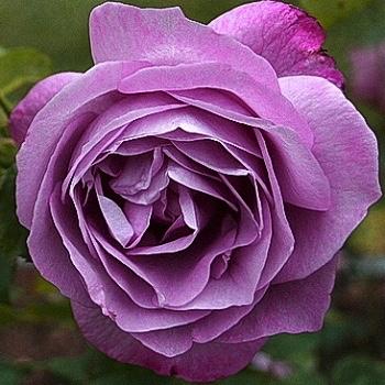 box of garden rose heirloom - Garden Rose