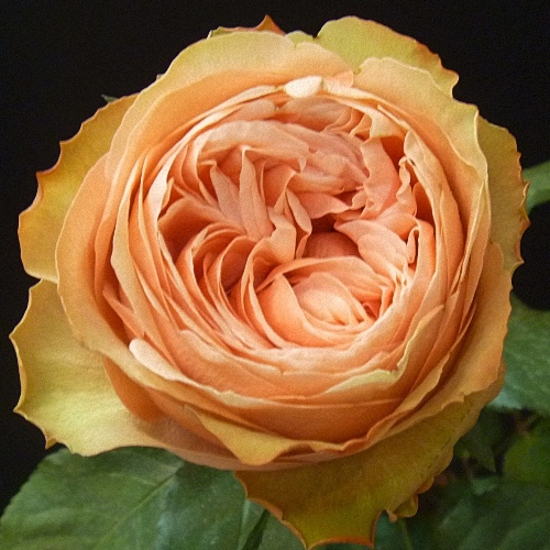 Peach Garden Rose david austin garden roses, the complete color collection48