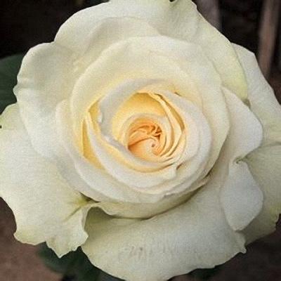 box of garden rose maria carmen - White Garden Rose