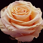Rose Ghobi