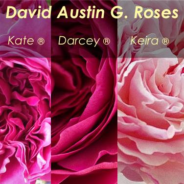 Kate Darcey Keira blush pale pink Garden Roses