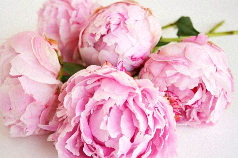 with pink peonies