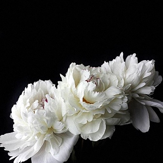 Bouquet with Festiva white Peonies