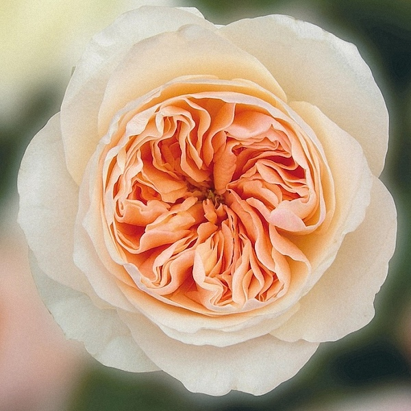 Juliet ® David Austin Garden Rose