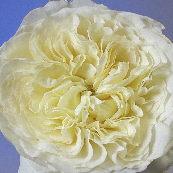 Patience ® David Austin Garden Rose
