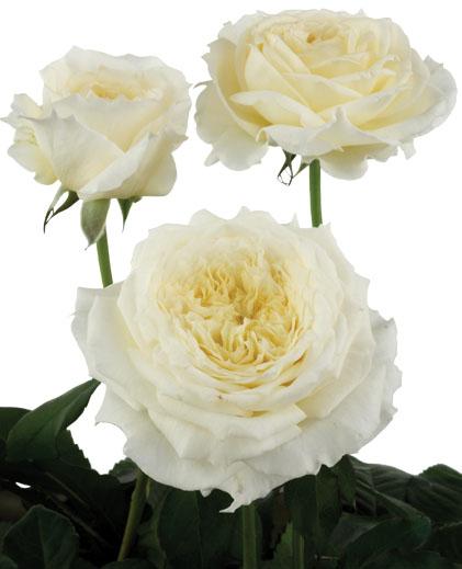 White Patience Garden Rose david austin garden rose