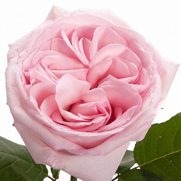 Pink O\'Hara Garden Rose