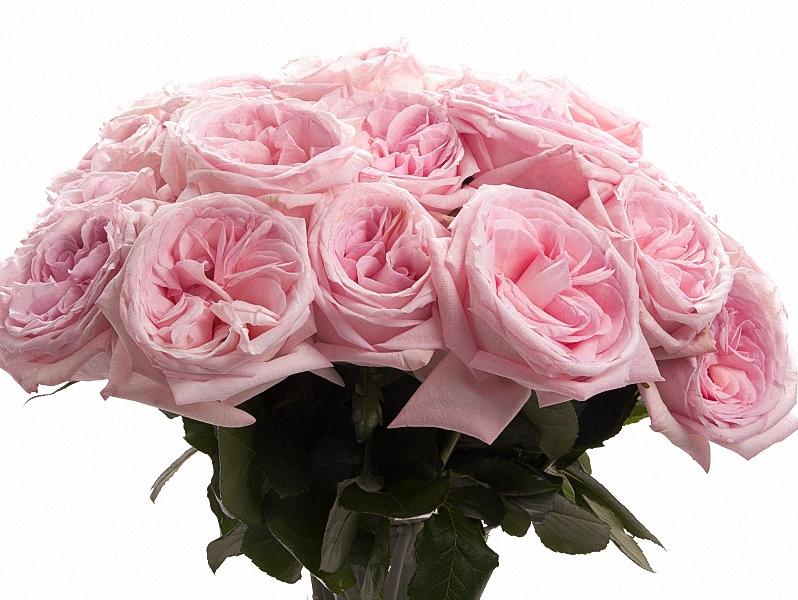 Pink Ou0027Hara Garden Rose