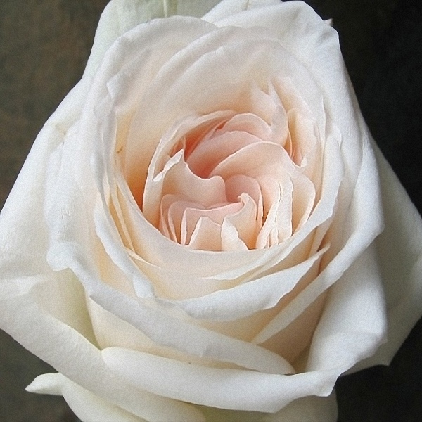 White Ou0027Hara Garden Rose
