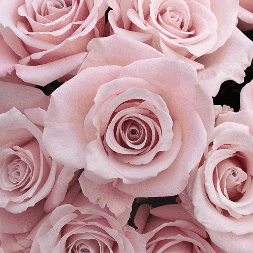 Light Pink Rose Esther