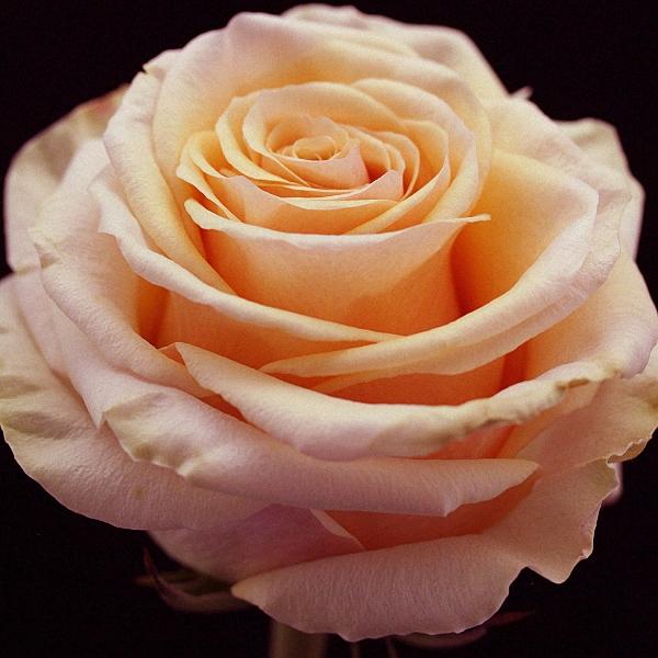 Peach Rose Ghobi