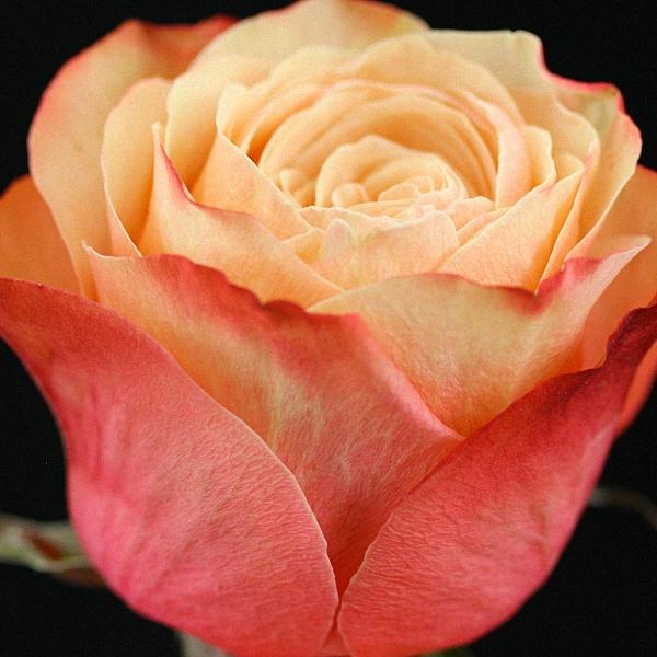 Peach Rose Kahala