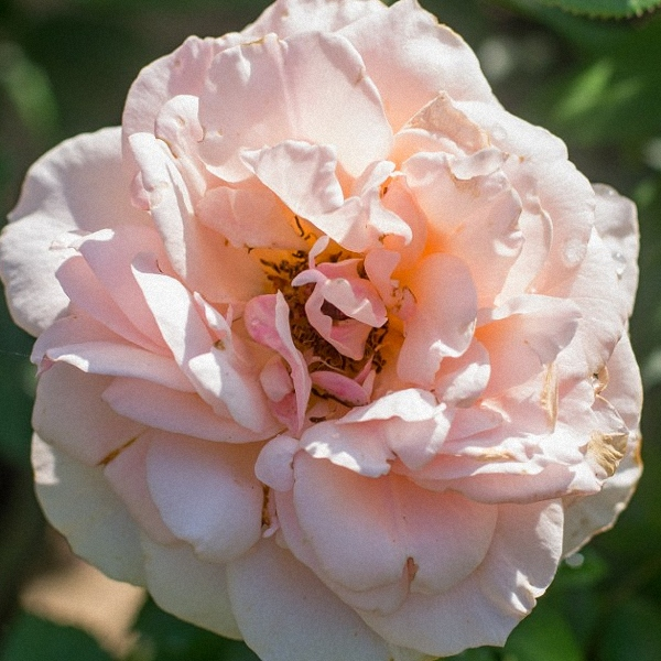 Blush-Peach Rose Mother of Pearl