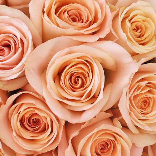 Peach Rose Tiffany