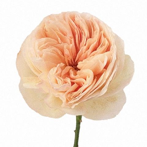 Vase Gift with Juliet ® Garden Rose